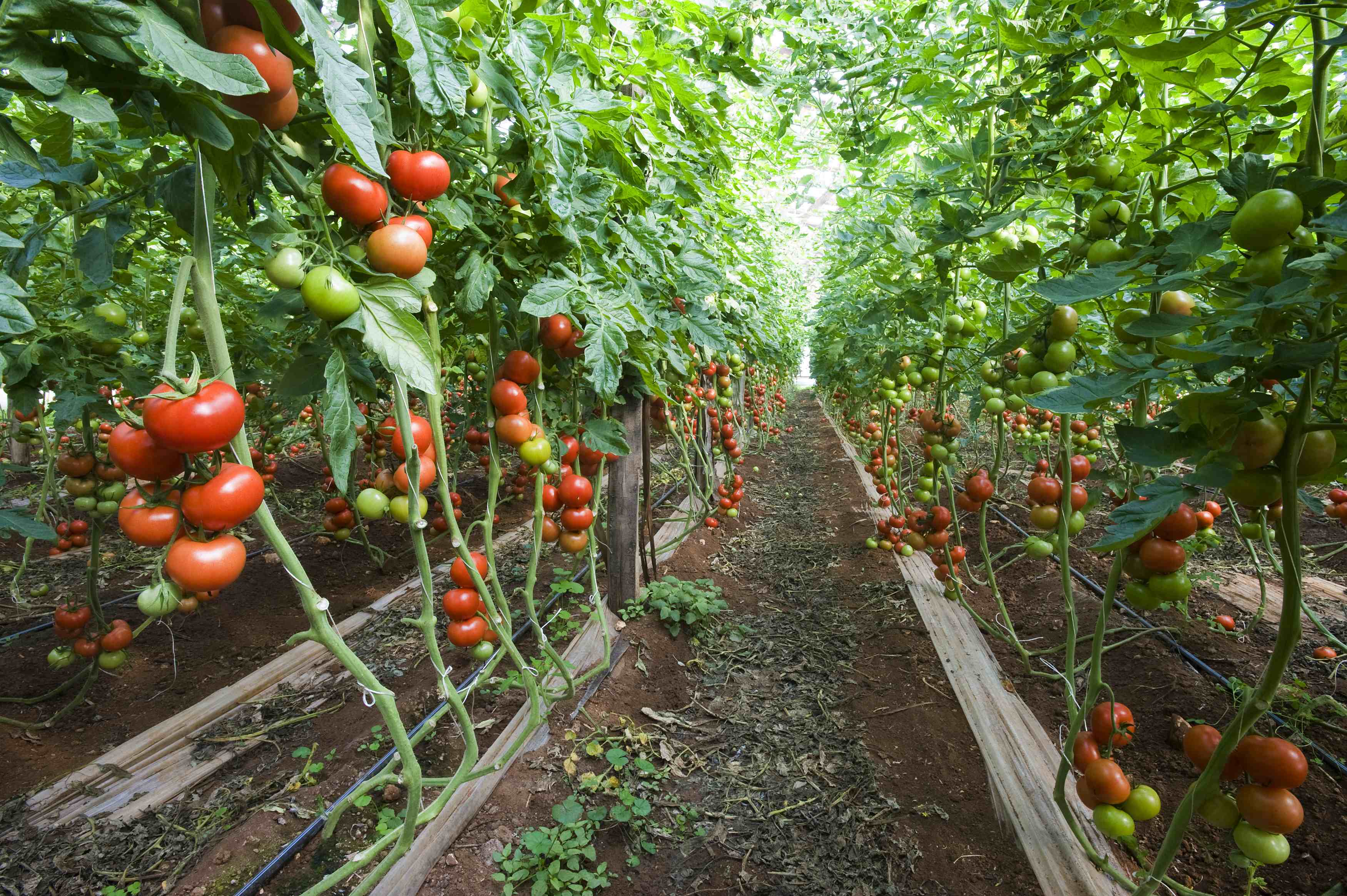 Cultivo Del Tomate Cultivos ~ Como Cultivar Tomates En El Huerto